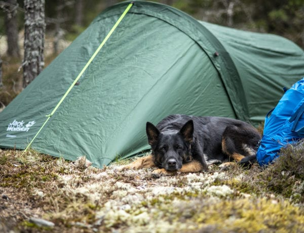 German Shepherd and Jack Wolfskon Gossamer II tent
