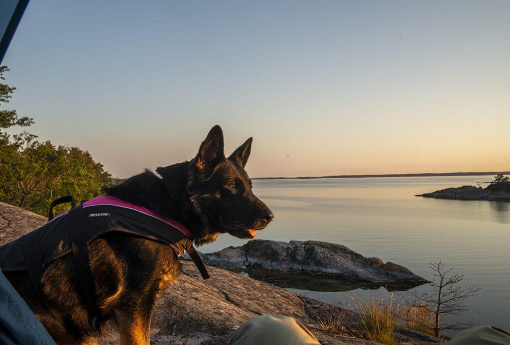 German shepherd with life vest in Stockholm Archipelago