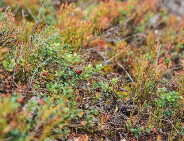 Lingonris i skogen på hösten